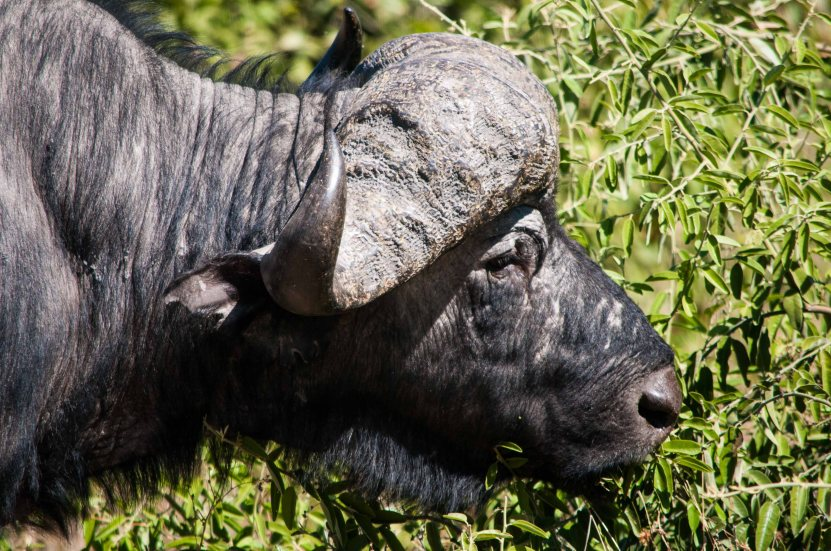 Water buffalo.  Not graceful or beautiful.
