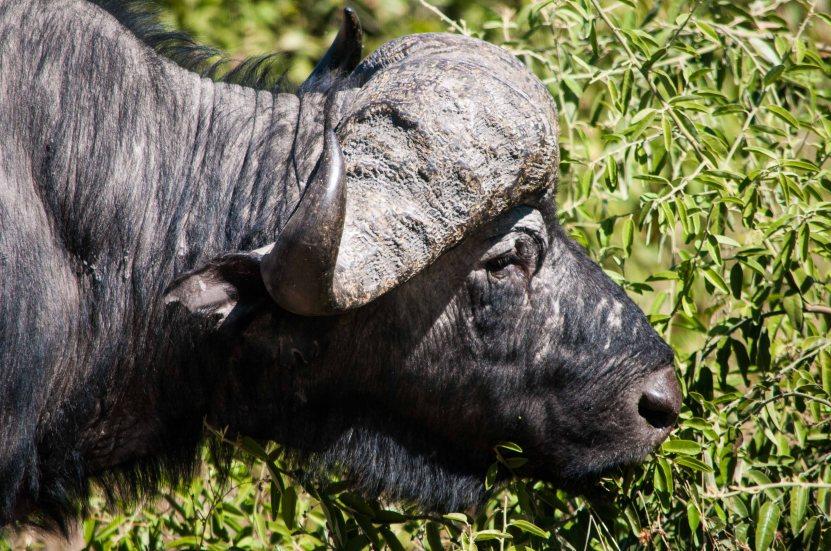 Water buffalo.  Not graceful or beautiful.