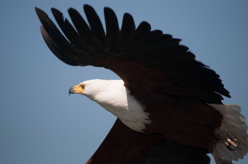 A sea eagle rises from the reeds.