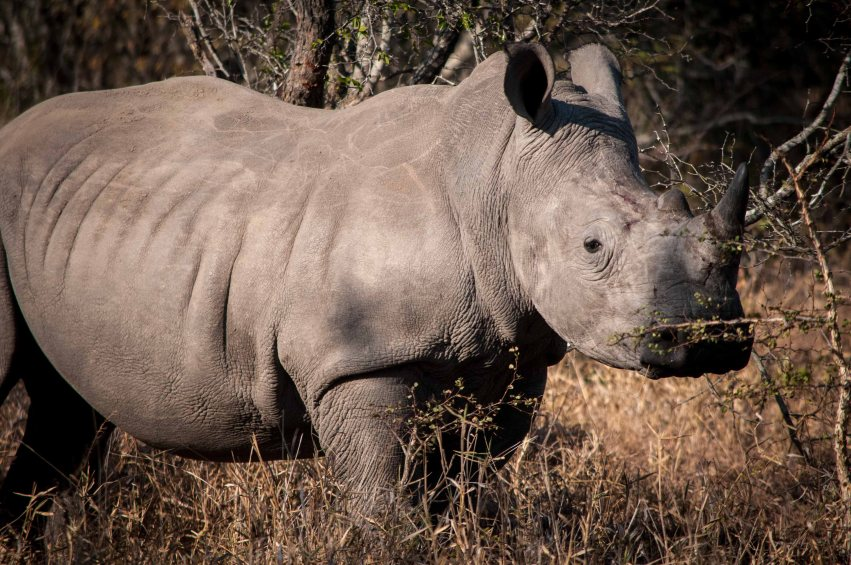 The rare white rhino, hunted almost to extinction by poachers who only want the horns--which are worth more than their weight in gold.