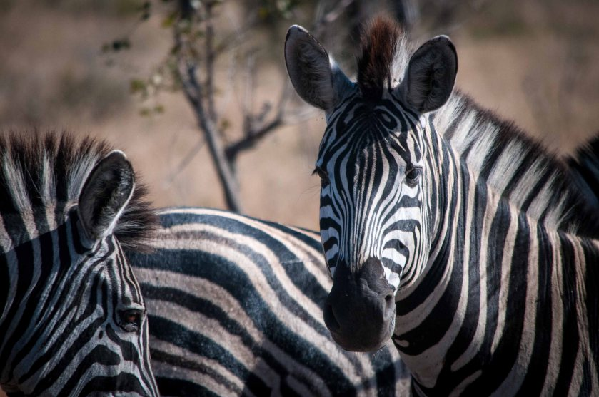 "Did you know the collective noun for a group of zebras is a ""dazzle""?"