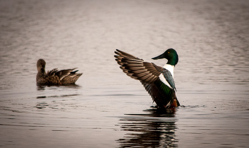 Mallards are beautiful.