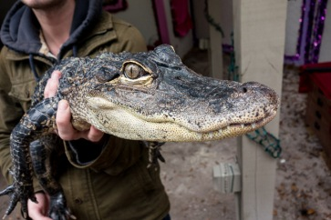 5 year old alligator