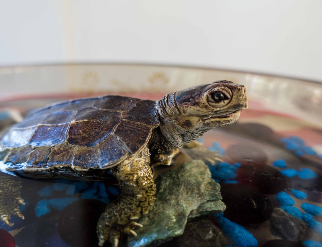 His name?  Rigor Tortise