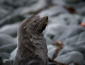 Fur seal on the beach in Browns Bay, Antarctica