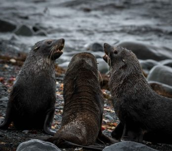 A choir of fur seals on the beach in Antarctic