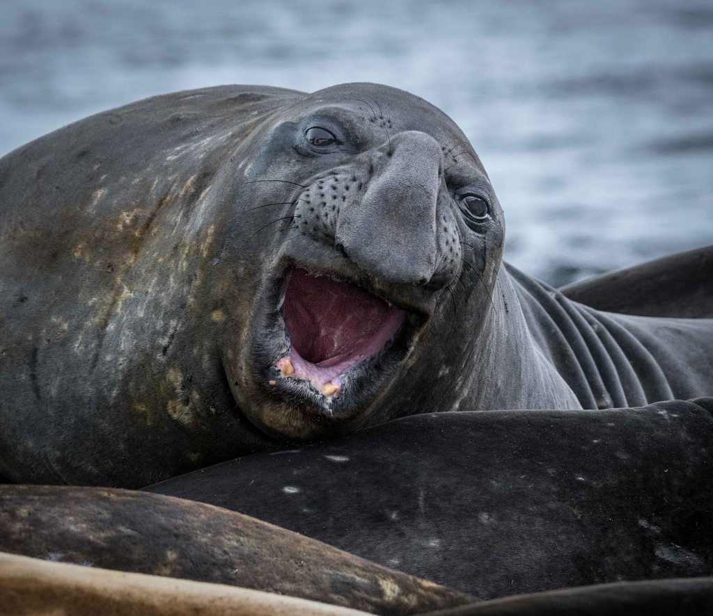 Elephant seal on the beach in Browns Bay, Antarctica