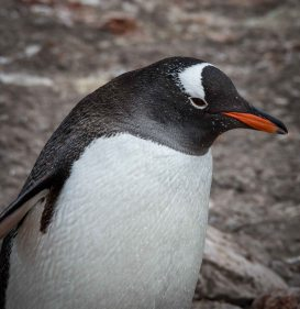Gentu penguin on the Antarctic Peninsula