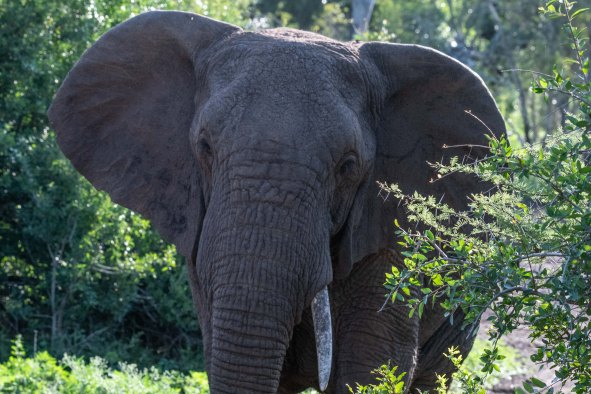 elephantZuluNyala-1